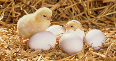 Chicken or the Egg: Which Came First?
